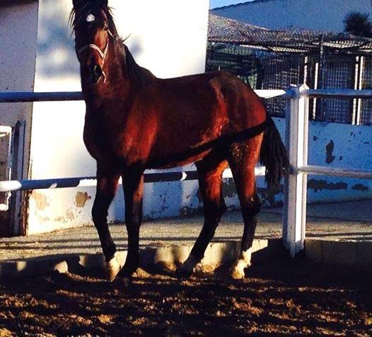 Venta de caballo pre en valencia