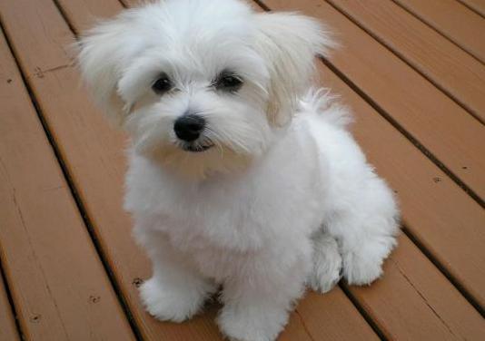 Adopto cachorro bilchon maltes