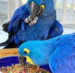 Aves guacamayo jacinto