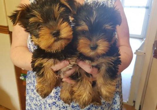 Cachorros t-cup yorkshire terrier