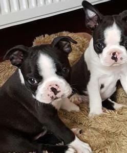 De cachorros boston terrier para nuevo hogar
