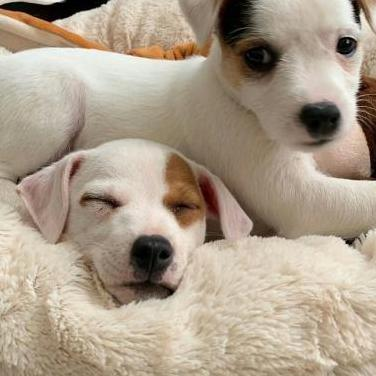 Disponible cachorro jack russell ))((