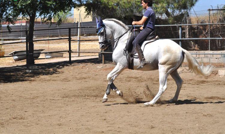 Venta de caballo lusitano en madrid