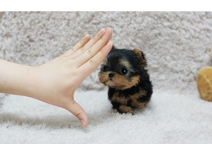 Regalo regalo mini toy yorkie, los cachorros se entregan