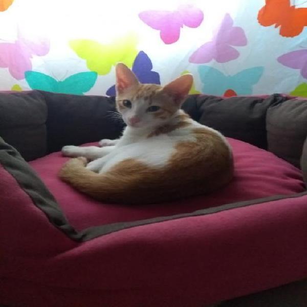 Berto - gato en adopción