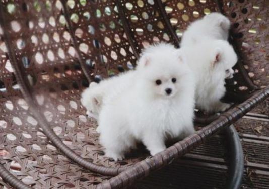 Cachorros de pomerania.