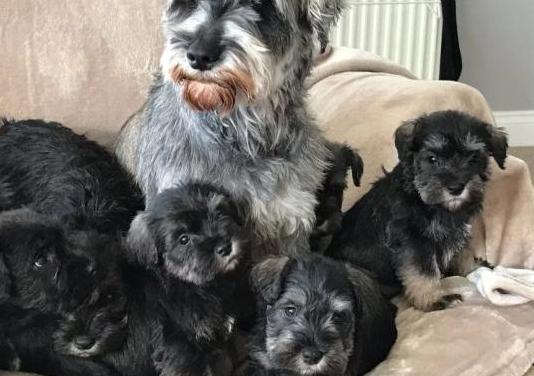 Cachorros de schnauzer mini o miniatura