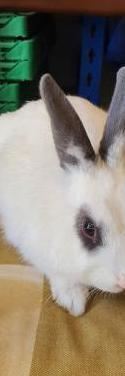 Conejos enanos sexados.