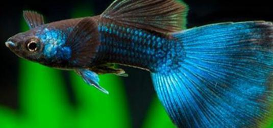 Guppys seleccion ( blue moscow)