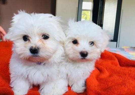 Hermosos cachorros cavalier