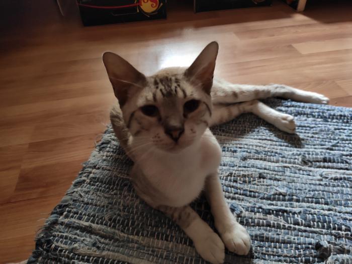 Igor - gato en adopción