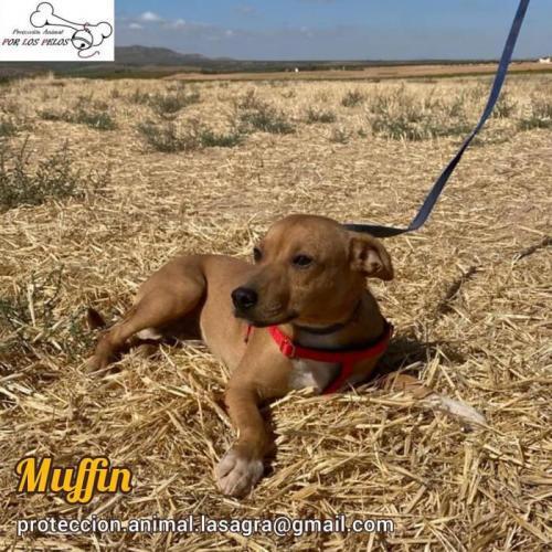 Muffin - perro en adopción