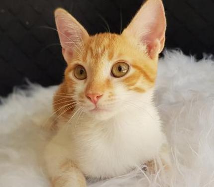 Naranja y blanco en adopción - 4,5 meses
