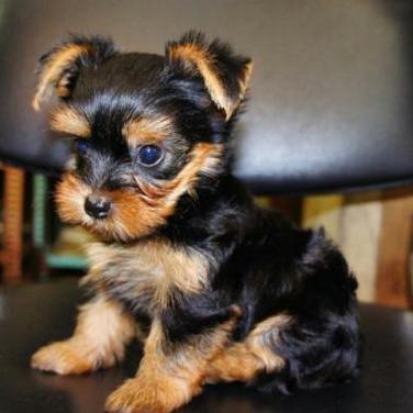 Regalo cachoro yorkshire terrier