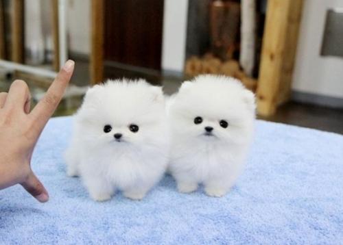 Cachorros vacunados de Lulu Pomerania para adopcion
