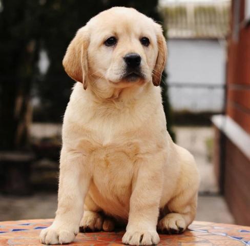 Regalo Cachorros Labrador,para su adopcion Cachorros