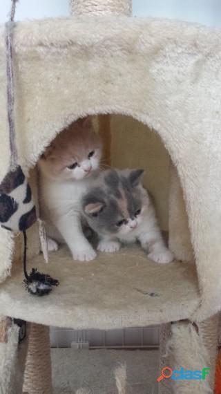 gatitos británicos de pelo corto machos y hembras