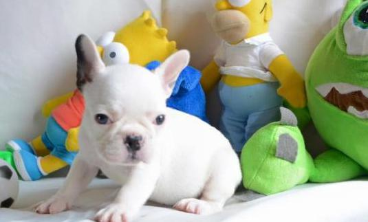 Bulldog francés registrado en akc