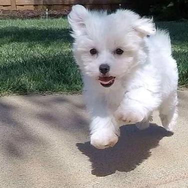 Cachorritos bichon maltés toy
