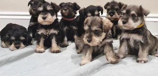 Cachorritos de schnauzer miniatura