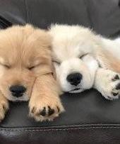 Cachorros de golden retriever