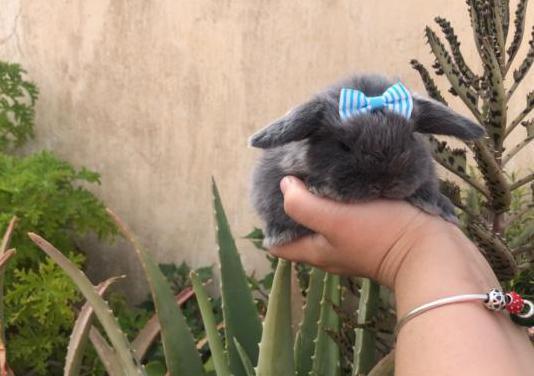 Conejos belier holandés raza peq