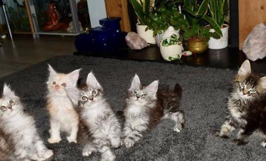 Gatitos de maine coon con tres meses