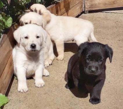 Labrador retriever con pedigree loe