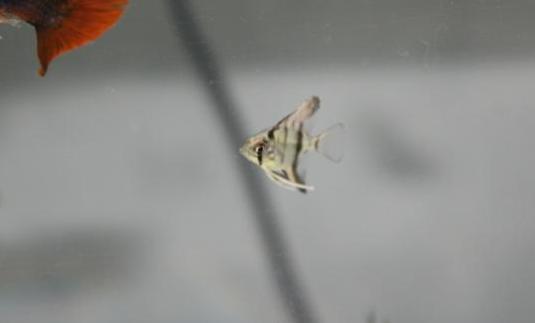Alevines escalar peces