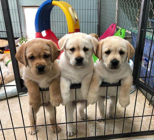 Nuestros hermosos cachorros de labrador