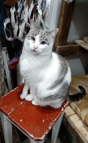 Ajax. gato blanco y gris. adopcion.