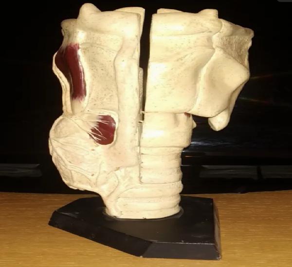 Modelo anatómico tráquea, enosa