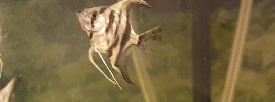 Alevines escalar velo o pez angel