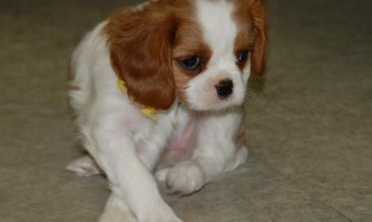 Cachorro king cavalier tricolor