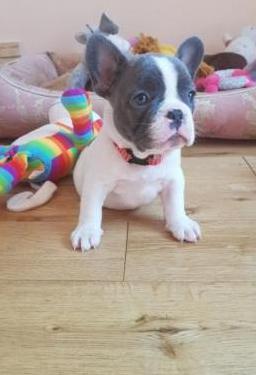Cachorros bulldog franceses en adopción..