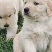 Cachorros golden retriever macho y hembra disponib