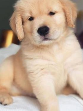 Disponibles cachorros golden retriever