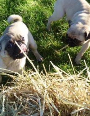 Dos cachorros pug en adopción.