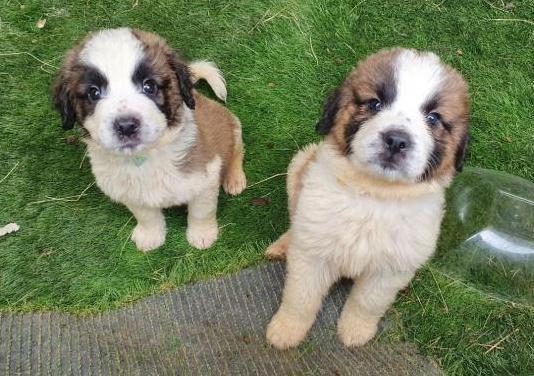 Hermosos cachorros de san bernardo para la .