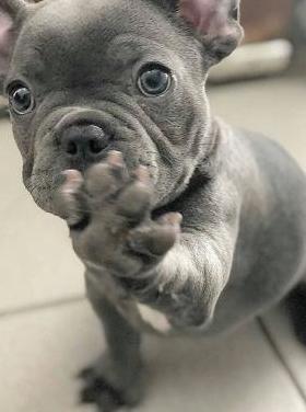 Impresionantes cachorros bulldog frances exoticos