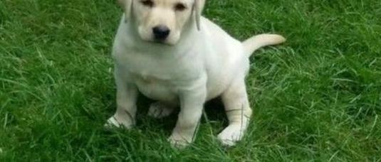 Labrador retriever cachorros.