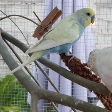 Periquito papillero