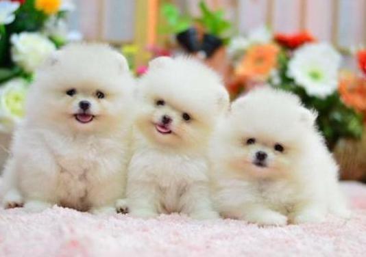 Pomerania mini toy