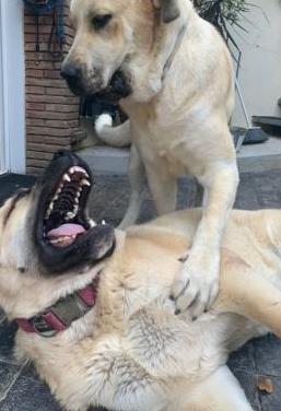 Camada de cachorros de mastin español