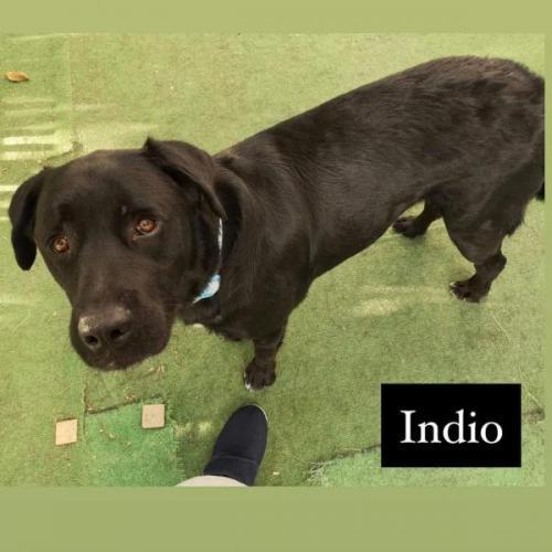 INDIO - perro en adopción