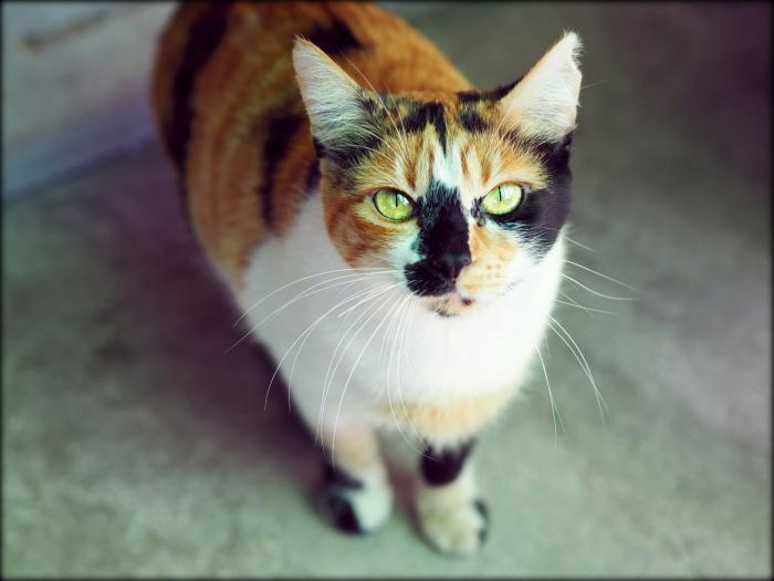 Jara - gato en adopción