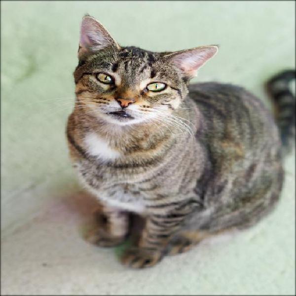 Mia - gato en adopción