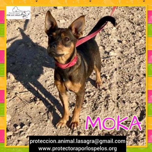Moka - perro en adopción