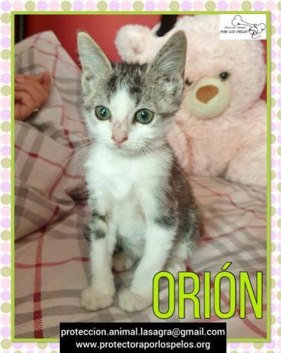 Orion - gato en adopción