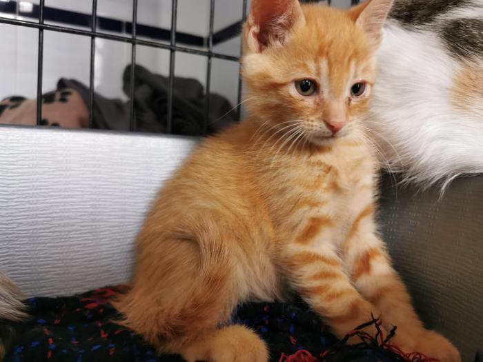 RALPH - gato en adopción
